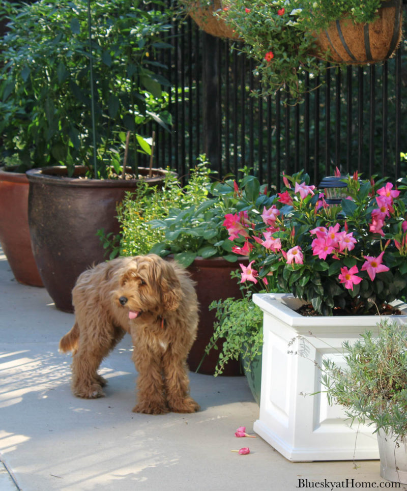 potted flowers on patio with labradoodle